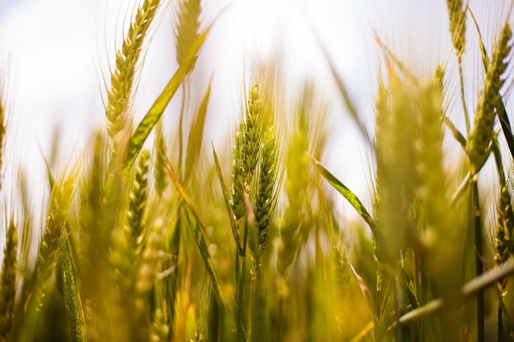 wheat-field-407192_1280