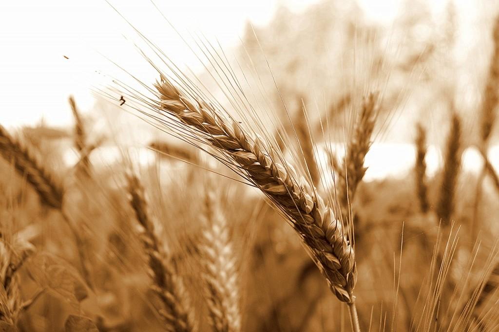 wheat-578195_1280